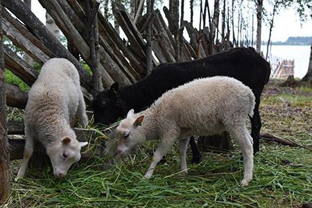 kotiseutumuseon-lampaat-kesalla-16